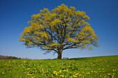 Oak tree in a flower meadow, Chiemgau, Bavaria, Germany, Europe