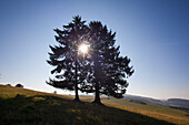Backlit spruces at Eifelsteig hiking trail, near Daun, Eifel, Rhineland-Palatinate, Germany, Europe