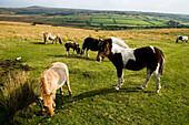 Wild horses grazing on the moorland, Dartmoor National Park, Devon, England