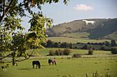 Horses on pasture and Westbury White Horse in background, Westbury, Wiltshire, England, UK