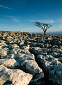 Hawthorne tree on limestone pavement, Twisleton Scars near Ingleton, Yorkshire Dales National Park, North Yorkshire, England