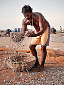 Fisher spreads catch for drying at beach of Negombo,  the region is manufacturer of the famous dry fish, Sri Lanka