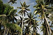 Plenty palm trees in the capital Apia, Upolu, Samoa, Southern Pacific island