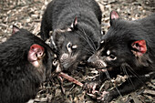 Tasmanian Devil eating, Bonorong Wildlife Sanctuary, Richmond around Hobart, Tasmania, Australia
