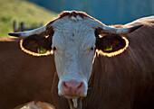 Young bull, Hofbauern-Alm, Kampenwand, Chiemgau, Upper Bavaria, Germany