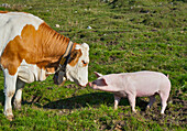 Cattle and pig on meadow, Hofbauern-Alm, Kampenwand, Chiemgau, Upper Bavaria, Germany