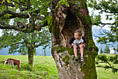 Boy sitting in a sycamore maple tree, Hofbauern-Alm, Kampenwand, Chiemgau, Upper Bavaria, Germany