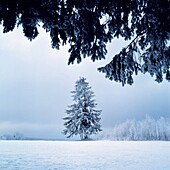 Germany, Schoenwald im Schwarzwald, Gutach, Gutach valley, Schwarzwald-Baar-Kreis, Black Forest, Baden-Wuerttemberg, winter landscape, misty, snow-covered fir-tree, deciduous trees covered with hoar-frost. Germany, Schoenwald im Schwarzwald, Gutach, Gutac