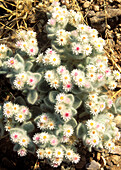 South-West Edelweiss Helichrysum roseo-niveum - Succulent plant, endemic to the arid regions neighbouring the Namib Desert between south Angola to central Namibia  Kaokoveld, Namibia