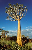 Quiver Tree Aloe dichotoma - During the rainy season with yellow Tribulus flowers  Formerly the hollowed out branches of these trees were used as quivers by the Bushmen  Quiver Tree forest near Keetmanshoop, Namibia