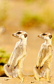 Suricate Suricata suricatta - Adult on the left with young on the lookout in the vicinity of their burrow  Kalahari Desert, Namibia