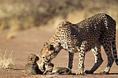 Cheetah Acinonyx jubatus - Female with its two 39 days old male cubs  Photographed in captivity on a farm  Namibia