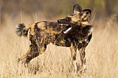 African Wild Dog Lycaon pictus - Yawning  Listed as endangered species  Photographed in captivity  Harnas Wildlife Foundation, Namibia