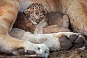 Lion cub aged less than 2 days old with it´s mother Panthera leo  Maasai Mara National Reserve, Kenya  September 2009