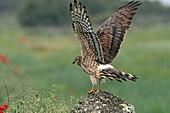Montagu´s Harrier  Adult female Circus pygargus  Order: : Falconiformes or Accipitriformes, q v   Family: Accipitridae