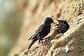Spotless Starling  Sturnus unicolor  Order: Passeriformes  Family: Sturnidae.