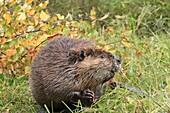 Beaver  Castor fiber  Order : Rodentia Sub-order : Sciuromorpha Family : Castoridae.