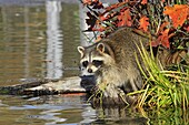 Raccoon or racoon  Adult  Procyon lotor  Order : Carnivora  Family, Procyonidae.