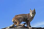 Canadian Lynx  Lynx canadensis  order : carnivora  family : felidae.