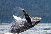 Humpback whale  Breach  Breaching  The whale is leaping into the air, rotating and landing on its back or side to create a chin-slap Megaptera novaeangliae  Order: Cetacea Suborder: Mysticeti Family: Balaenopteridae