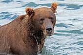 Alaska, Katmai National Park and Preserve, McNeil River Bear Viewing and Wildlife Sanctuary, falls of the Mc Neil river, Grizzly bear  Ursus arctos horribilis, family : ursidae, order : carnivora