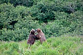 Alaska, Katmai National Park and Preserve, McNeil River Bear Viewing and Wildlife Sanctuary, falls of the Mc Neil river, Grizzly bear  Ursus arctos horribilis, fight, family : ursidae, order : carnivora
