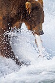 Alaska, Katmai National Park and Preserve, McNeil River Bear Viewing and Wildlife Sanctuary, falls of the Mc Neil river, Grizzly bear  Ursus arctos horribilis  with a Dolly Warden  Ursus arctos horribilis