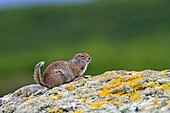 Alaska, Katmai National Park and Preserve, McNeil River Bear Viewing and Wildlife Sanctuary, Arctic ground squirrel  Urocitellus parryii or Spermophilus parryii
