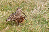 Falkland Islands, Sea LIon island, Magellanic snipe or South American Snipe Gallinago paraguaiae magellanica, female and young, Order : Charadriiformes, Family : Scolopacidae