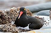 Falkland Islands, Sea LIon island, Magellanic Oystercatcher  Haematopus leucopodus, Order : Charadriiformes, Family : Haematopodidae