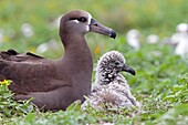 Hawaï, Midway, Sand Island, Black-footed Albatross  Phoebastria nigripes, adult with young