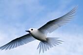 Hawaï, Midway, Sand Island, White Tern Gygis alba