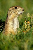 Blacktail Prairie Dog Cynomys ludovicianus Wyoming - USA - Social animals that live in ´towns´ and post sentinels to warn of impending predators - Live in and around burrows deep within the ground