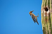 Gila Woodpecker Melanerpes uropygialis - Arriving at nest in Saguaro cactus with food for young - Arizona - Common Sonoran desert resident - Overall range from southwestern U S  to central Mexico - Lives in desert washes-saguaros-river groves-cottonwoods-