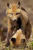 Red Fox Vulpes vulpes -formerly Vulpes fulva - New York - USA - same species as European red fox - some say was originally introduced from Europe to North America - widespread in North America - omnivore