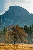 Maple tree in Cooks Meadow below Half Dome in Spring, Yosemite Valley, Yosemite National Park, California