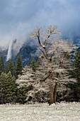 Frosted trees after a spring snow storm, Yosemite Valley, Yosemite National Park, California