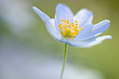 Anemone nemorosa, flower, blossom, flourish, flower center, wood anemone, detail, spring, macro, pattern, close_up, wood, forest, bright, close up, colorful, yellow, graphical, pattern, green, white. Anemone nemorosa, flower, blossom, flourish, flower cen