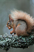 Branch, Knot, Cairngorms, squirrel, animal, food, eating, Eurasian, European squirrel, animal, feed, hazelnut, national park, park, nut, portrait, Scotland, Great Britain, tail, Sciurus vulgaris, stock, supply, winter, bushy, mature, sit, European, red, s