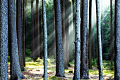 beam, beams, branches, environment, foliage, forest, green, leaf, leaves, light, mist, misty, mysterious, nature, outdoor, ray, rays, season, shine, sun, sunlight, sunshine, tree, trees, woods. beam, beams, branches, environment, foliage, forest, green, l