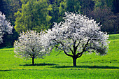 Agrarian, tree, blossom, flourish, flower, splendour, Cerasus, field, flora, spring, crowfoot, buttercup, sky, cherry tree, cherry tree blossom, flourish, cherry, agriculture, nature, fruit, fruit_tree, Oetwil am See, plant, crowfoot, buttercup, Switzerla