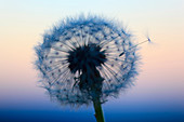 Flower, detail, flora, flight, reproduction, back light, sky, ease, light, air, dandelion, macro, close_up, plant, puff, blowball, blowing, seed, silhouette, Switzerland, silhouette, sun, sunrise, Taraxacum officiale, withering, fly, reproduce, light, wit