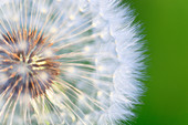 Flower, detail, flora, reproduction, ease, dandelion, dandelion, macro, pattern, sample, close_up, plant, puff, blowball, blowing, seed, Switzerland, Taraxacum officiale, withering, center, close up, reproduce, withers graphical, light, weightless, pass,