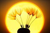 Flower, detail, flora, flight, reproduction, back light, sky, ease, light, air, dandelion, macro, morning, Morning_red, close_up, plant, puff, blowball, blowing, seed, silhouette, Switzerland, silhouette, sun, sunrise, Taraxacum officiale, withering, fly,