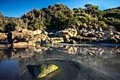 Incoming tide swirls past algae and shell covered rock, nikau palms in coastal bush near Punakaiki, Woodpecker Bay, Paparoa National Park, West Coast, New Zealand