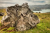 Totora stump, Akaroa harbour beyond, Banks Peninsula was once covered in forest, cut down by early settlers, Canterbury
