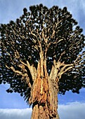 Dracaena draco, the Canary Islands Dragon Tree or Drago is a subtropical Dragon Tree native to the Canary Islands, Cape Verde, Madeira, and locally in western Morocco, and introduced to the Azores  This tree is the natural symbol of the island of Tenerife