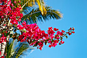 Bougainvillea with  palm tree in the background, Gran Canaria, Canary Islands, Spain