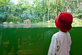 Children watching a tiger drinking, view through a glass panel, Leipzig Zoo, Leipzig, Saxony, Germany