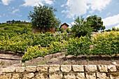 Weinhang, Weinberg, Weinanbau an der Saale und Unstrut, Freyburg, Sachsen-Anhalt, Deutschland
